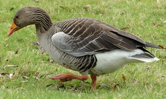 Winner of the mannequin challenge.... here's the Anser (robbie20161) Tags: nature countryside animals birds geese greylag draycotewater warwickshire