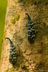Lantern Bug (Paradise in Portugal) Tags: srilanka lanternbug