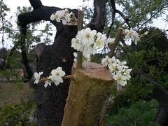 Empelt de prunera - peu d´ametller (Ibertram) Tags: mallorca march almond plum plumtree alaró graft empelt injerto