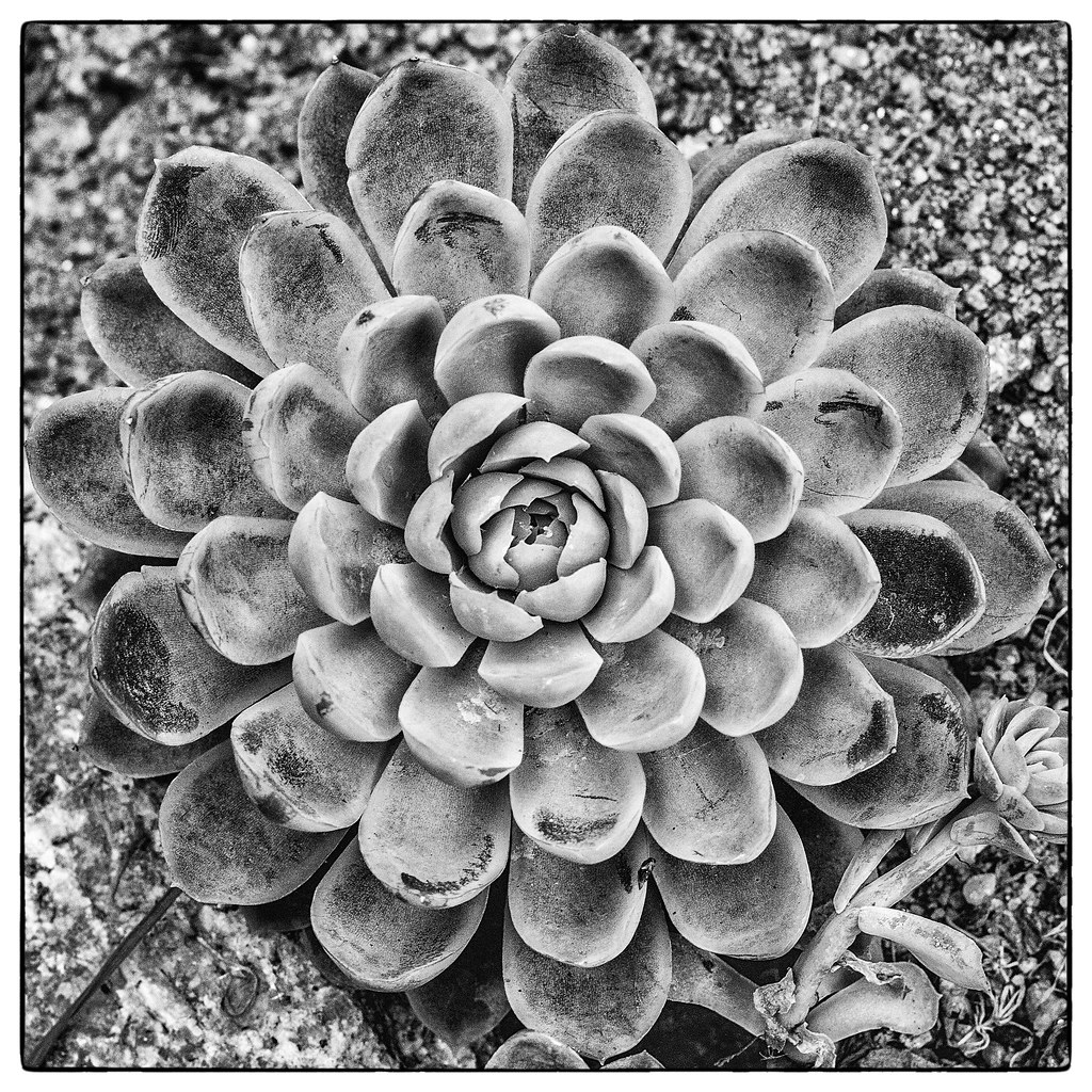 The World S Most Recently Posted Photos Of Echeveria And