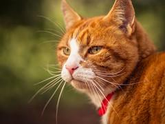Katerle (Vintage lens lover) Tags: katzen tiere haustiere cats outdoor natur olympus f18 zuiko75mm18 katerle