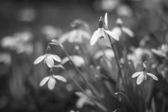 Life in mono (marionrosengarten) Tags: snowdrops mono bw sw schneeglöckchen white flower nature blossom garden park