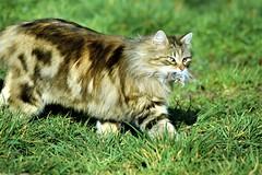 A table! (La Magie Du Moment) Tags: chat fauve félin faune chasse souris repas diner extérieur nature nikon fier