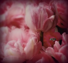 (Christopoulos) Tags: bees tulips square pink