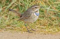 DSC6107  Bluethroat.. (jefflack Wildlife&Nature) Tags: bluethroat thrushes vagrant birds avian animal wildlife wildbirds wetlands marshland marshes tundra countryside nature
