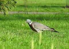 Anglų lietuvių žodynas. Žodis wood-pigeon reiškia n zool. keršulis, keršinis karvelis lietuviškai.