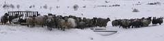 the Viking sheep whisperer (lunaryuna) Tags: norway lofoten lofotenislands winter season seasonalbeauty sheep snowypastures vikingsheep herd funny looks sheepishpanorama animals lunaryuna sheepwhisperer