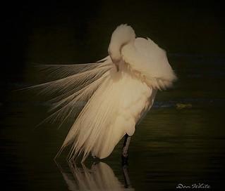 egret in pose