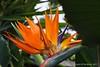 Bird Of Paradise (jimgspokane) Tags: geiserconservatory flowers spokanewashingtonstate otw