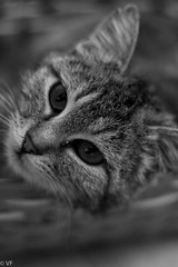 Lasagna (vaferina) Tags: bw cat chat bn gatto lasagna