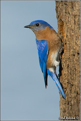 Eastern Bluebird (130519-0291) (Earl Reinink) Tags: blue ontario canada art nature photography nikon flickr photographer nest image images earl bluebird flikr d4 art eastern nikon photography images nature lens ontario canada ontbirds fine earl photographer lenses bluebird reinink bluebird reinink nesting d4 niagara