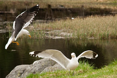 Seagulls at mountain lake (havber) Tags: seagulls nature wildlife canon40d