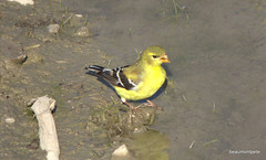 time for a drink (beaumontpete) Tags: bird london female creek golden goldfinch carduelis tristis ldnont