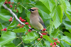 Cedar Waxwing by Steve Gifford (Steve Gifford - IN) Tags: bird nature river photo wildlife steve picture indiana national photograph cedar steven marsh society waxwing refuge audubon gifford nwr ias maxey haubstadt patoka