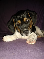 Bentley & Momo (Samsi1701) Tags: baby beagle friendship hund hunde liebe jackrussel mischling sessel welpe flickrandroidapp:filter=none