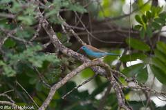 Blue-breasted Cordonbleu (Uraeginthus angolensis), Kruger National Park, ZA, 2012-11-26--101 (maholyoak) Tags: birds southafrica finches za krugernationalpark uraeginthusangolensis bluebreastedcordonbleu