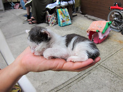 Lucky's big day (Jimmy Legs) Tags: kitten lucky muddypaws neonatal bottlebaby adoptionevents northbrooklyncats