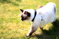 Chilli 6 (SuperNiima) Tags: pet cute cat blueeyes ragdoll