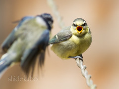 2013 0618 Blue Tit (shidekubo) Tags: nature wildlife bluetit gardenbirds 2013