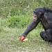 Chimp_261