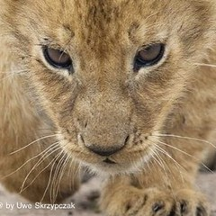 Over the past 50 years, wild lion numbers in Africa have decreased from over 200,000 to less than 20,000 today !!! #WorldLionDay (Uwe_Skrzypczak) Tags: africa cats nature animals wildlife safari lions serengeti masaimara serengetiwildlife uweskrzypczak savesimba
