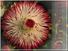 Eifrig suchen / seek diligently (Martin Volpert) Tags: flower fleur flor pflanze kirche blumen bible blomma christianity blume bibbia fiore blte blomst virg gemeinde lore biblia bloem blten blm iek floro kwiat flos ciuri kvet kukka cvijet ecclesia flouer glauben christentum blth jesuschristus cvet zieds is floare blome iedas bibelverskarte mavo43 proverbs817 eifrigsuchen seekdiligently sprche817