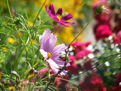 cosmos of happiness (Ryuu) Tags: pink flowers light red summer sunlight plant flower macro green nature floral leaves sunshine yellow closeup composition garden happy golden petals colorful dof bokeh sunny lovely cosmos  cosmosbipinnatus  mexicanaster gardencosmos