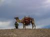Kamel | Camel