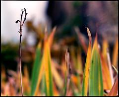 autumn garden (manni39) Tags: autumn mamiya film rural vintage mediumformat garden countryside fuji bokeh superia herbst vintagecamera 6x7 garten rollfilm fujisuperiaxtra400 rb67 ländlich sekor mittelformat moyenformat mamiyasekor mamiyasekor127mm38