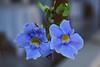 Hanging Vine (Heaven`s Gate (John)) Tags: blue flower green nature topf25 restaurant blossom vine grenada hanging gary caribbean rhodes westindies 10faves 25faves johndalkin heavensgatejohn thecalabash