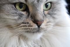 Fussel Portrait (Vasquezz - OFFLINE) Tags: katze cat siberian siberiancat sibirische sibirischekatze sibirisch waldkatze forestcat augen eyes catmoments kittyschoice kittysuperstar hellopussycat supershot coth coth5 ruby10 ruby15 ruby20 infinitexposure soe wow wowl2 wowl3 supersixmf twitter