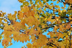 Autumn Colours (kh1234567890) Tags: autumn tree leaves yellow manchester pentax plattfields k7 smcpentaxm135mmf35 smcpm135mmf35