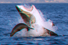 Great White Shark vs. Seal in 3D (DarkOnus) Tags: red manipulated lumix shark 3d cyan anaglyph seal jaws greatwhite redcyan airjaws dmcfz35