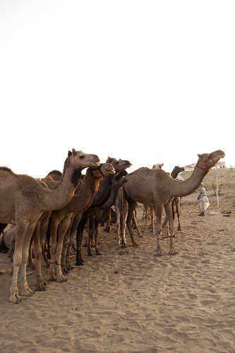 camel leading herd