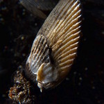 Mussels on driftwood thumbnail