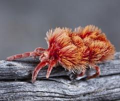 _X8A7314 velvet mite, genus Austrothrombium (Jurgen Otto) Tags: macrolife