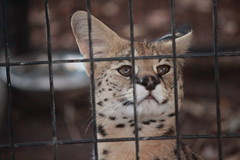 Staredown with Audience (Chicago John) Tags: world park cats oregon zoo great junction cave serval cavejunction greatcatsworldpark