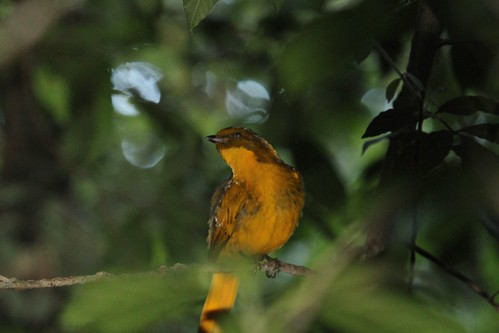 Golden Bowerbird ~ Prionodura newtoniana ~ Mount Hypipamee NP
