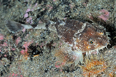 StAbbs-201308-CraigRock-Fish4-Pogge-AgonusCataphractus (Tony J Gilbert) Tags: scotland nikon marine underwater diving d300 underwaterphotography stabbs eyemouth thehomearms stabbseyemouthvoluntarymarinereserve