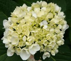 Starting out. (mikeNZ1.) Tags: sony hydrangea forma hortensia macrophylla hydrangeaceae caltivar experiaz1 sonyc6903 123inch207megapixelcmos