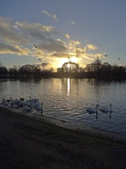 Sunset Swans (Bricheno) Tags: park sunset scotland geese pond glasgow escocia swans szkocja richmondpark schottland scozia cosse  esccia   bricheno scoia