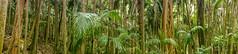 Tamborine panorama (NettyA) Tags: trees panorama mountain forest palms landscape flora rainforest native australia bushwalking qld queensland tamborine stranglerfig bangalow mttamborine bangalowpalm 2013 tamborinenationalpark joalah northtamborine sonynex6
