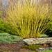 Yellow Twig Dogwood (Cornus sericea 'Flaviramea')