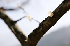 Soliloquy (Singer ) Tags: light shadow sunlight white flower tree composition canon iso100 dof bokeh taiwan singer minimalism   pure f4    plumblossom oneshot      70mm              prunusmume   11600sec      canon6d  canonef2470mmf28liiusm     singer186          v