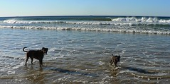 Giles and friend Bess, cooling off early this morning. (The Pocket Rocket) Tags: beach australia victoria heat boxer giles southernocean bess miniatureschnauzer oceangrove explore355