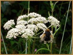 Umbrela floral plena de corazones. (margabel2010) Tags: flores insectos blancoynegro flora asturias alas corazones ptalos umbrelas florasilvestre