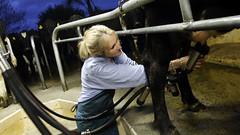 Farmgirl (FarmNor) Tags: barn cow farm rubber apron parlour dairy stable milking coverall kor bonde farmgirl melking ladugrd mjlka bondgrd lantbruk galonbyxor lypsy djursktare galonklder mjlkgrd avbytare mjlkgrop vision:outdoor=0772