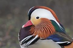 Mandarin Duck (KingfisherDreams) Tags: bird nature wildlife mandarinduck oiseau canard aixgalericulata anatidae february2014