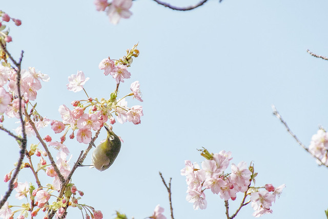 Kawazu-zakura and White-eye