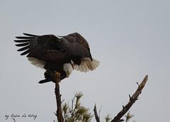 083a (dlv1) Tags: love birds nikon mating majestic eagles raptors birdofprey baldeagles copulating d7100 sigma150500mm
